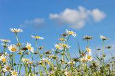 Field of daisy flowers — Stock Photo