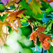 Royalty-Free Stock Photo: Maple leaves in paints of autumn