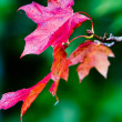 Maple leaves in paints of autumn — Stock Photo #4091443