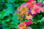 Maple leaves in paints of autumn — Stock Photo