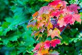 Folhas de maple em pinturas de outono — Fotografia Stock