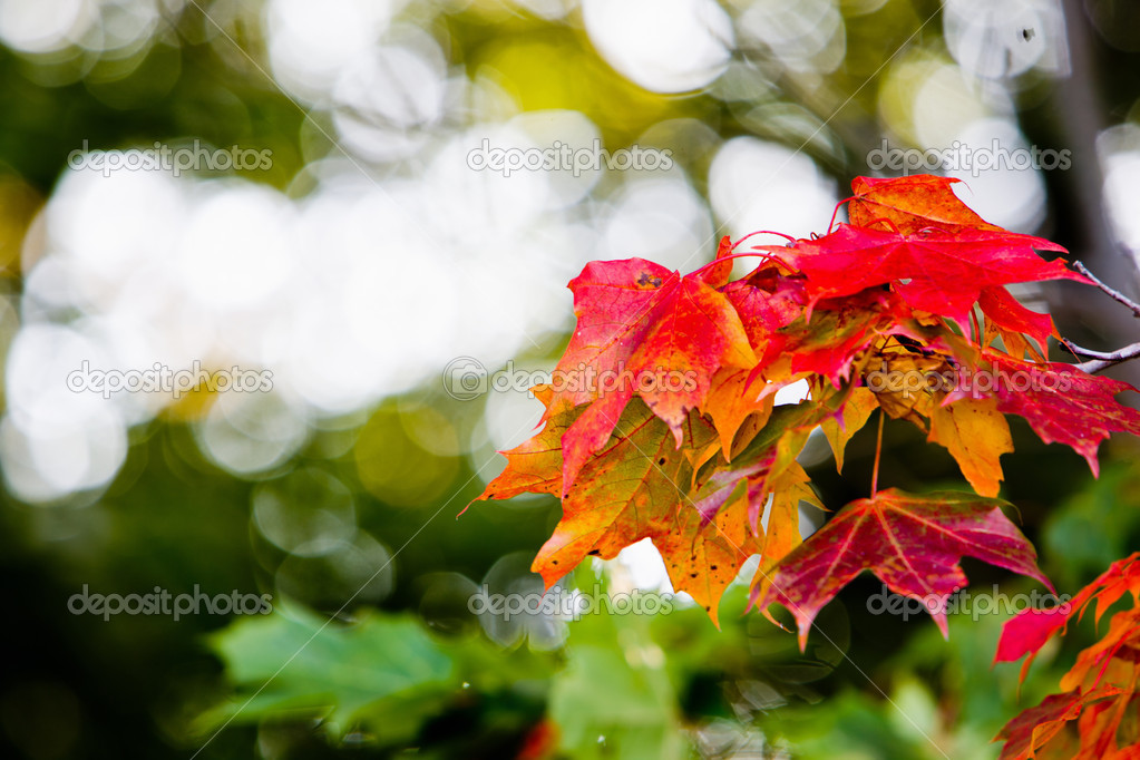 Maple leaves in beautiful autumn colours  Stock Photo #4090593