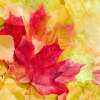 Maple leaves in beautiful autumn colours — Stock Photo