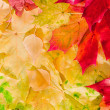 Maple leaves in beautiful autumn colours — Stock Photo #4118316