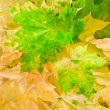 Stock Photo: Maple leaves in beautiful autumn colours