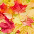 Maple leaves in beautiful autumn colours — Stockfoto