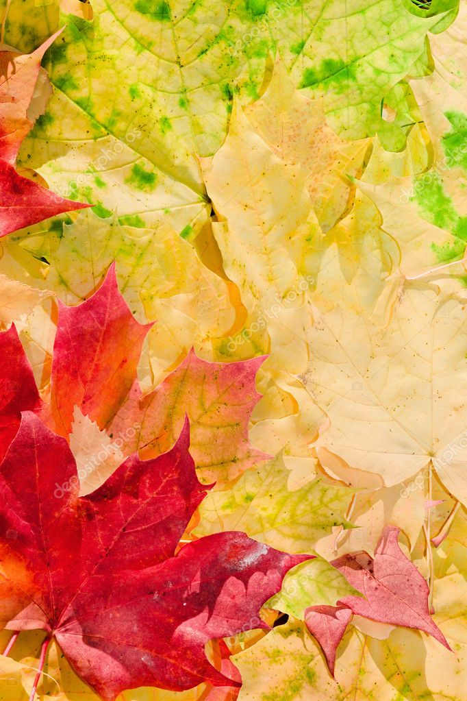 Maple leaves in paints of  beautiful autumn  Stock Photo #4118259