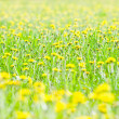 Dandelions in a grass — Stock Photo