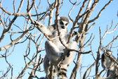 Lemur opice — Stock fotografie