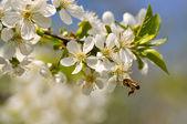 Bienen sammeln pollen — Stockfoto