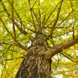 Chinese tree — Stock Photo #4138646