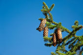Pinetree branch with cones — Stock Photo