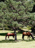 Two horses grazing under a tree — Stock Photo