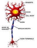 Neuron cell — Stock Vector