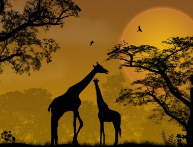 Two giraffes on jungle