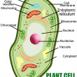 Plant cell structure - Stock Vector