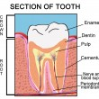 Section of Tooth - Stock Vector
