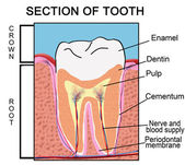 Section of Tooth — Stock Vector