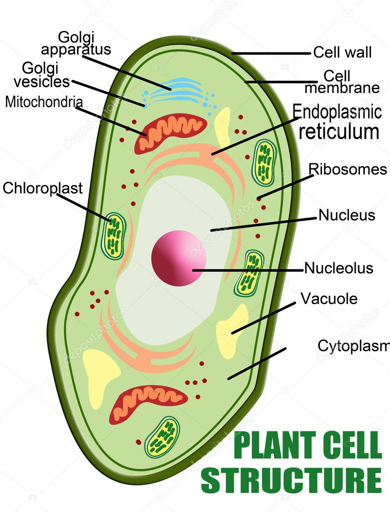 Plant cell structure, vector illustration (Helpful for Education & Schools) — Stock Vector #5368197