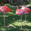 Pink flamingoes resting — Stock Photo #4852266