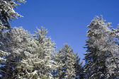 Snow covered evergreens — Stock Photo