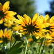 Summer yellow daisies underside — Foto Stock