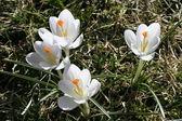 春天鲜花白番红花 — 图库照片
