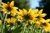 Summer yellow daisies underside — Stock Photo
