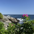 Maine Ogunquit sea rose - Foto de Stock