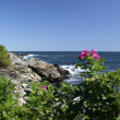 Maine Ogunquit sea rose - Stock Photo