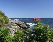 Morze ogunquit maine róża — Zdjęcie stockowe