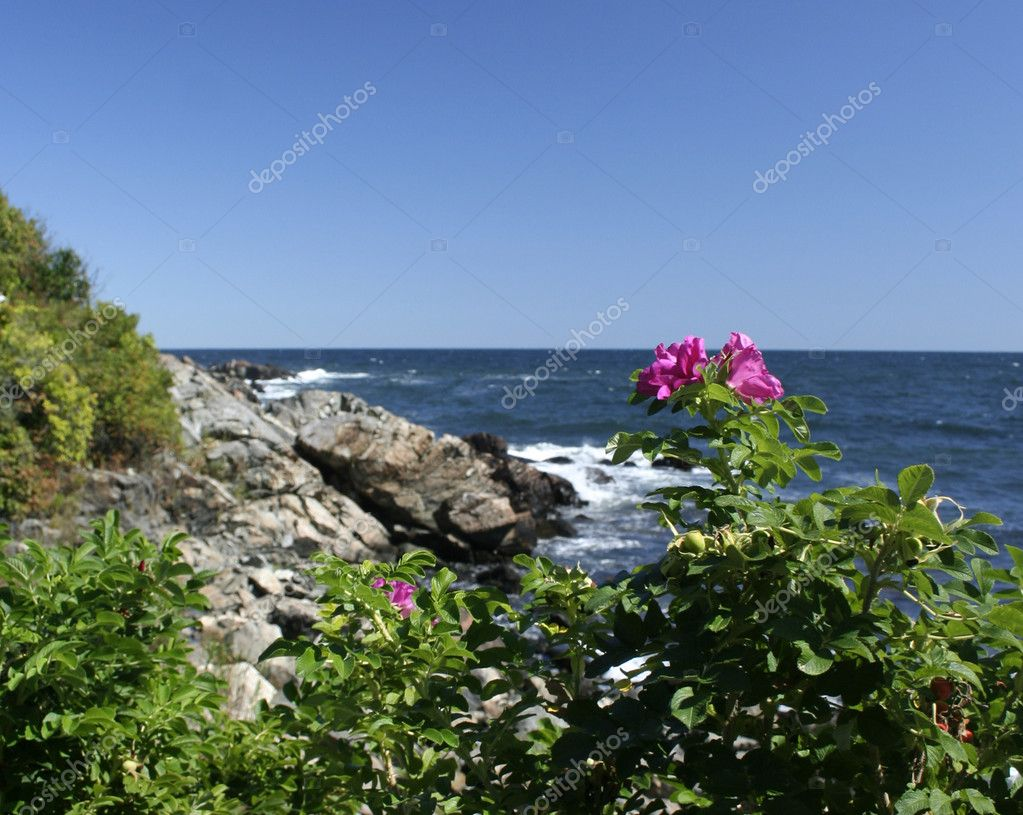 Maine scenic sea rose at Ogunquit beach — Stock Photo #5088269