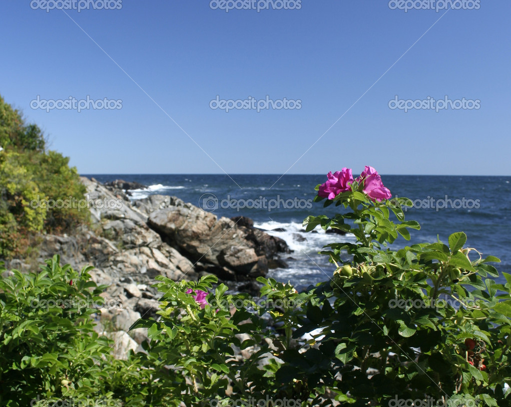 Maine scenic sea rose at Ogunquit beach — Photo #5088269