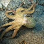 Octopus — Stock Photo #4395749