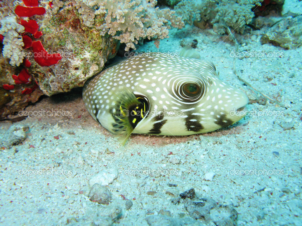 Star puffer fish stock photo planctonvideo 4564178 for Puffer fish price