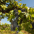 Fresh vineyards — Stockfoto #4437276