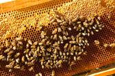 Bees at home — Stock Photo