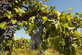 Fresh vineyards — Stock Photo