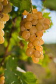 Growing of grapes — Stock Photo