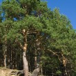 Stock Photo: Pine trees with curved roots
