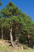 Pinheiros com raízes curvas — Foto Stock