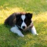 Border collie puppy — Stock Photo
