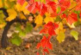 Viñedo de otoño — Foto de Stock