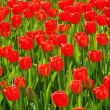 Foto Stock: Red Tulip flowers