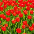 Foto de Stock  : Red Tulip flowers