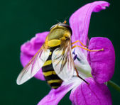 Wasp on the Woodland Geranium flower — Stock Photo