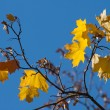 Autumn maple foliage — Stock Photo