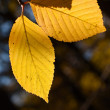 Birch autumn foliage - Stock Photo