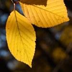Birch autumn foliage — Stock Photo