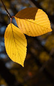 Birch autumn foliage — Stock Photo